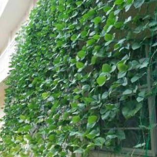 古賀市ささげグリーンカーテンの見学会のご案内