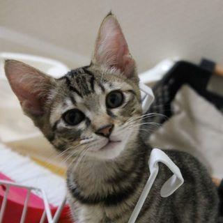 超可愛い顔のキジ子猫♀