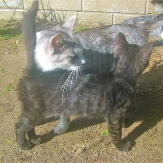 ヾ(*ΦωΦ)/<動画あり 貰い手がなくて困ってます。何方かどうか飼ってあげてください。 子猫 野良 黒 サバ黒 雄♂  − 長野県