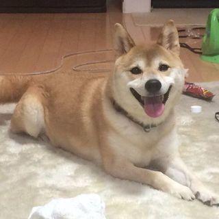 【大至急募集】柴犬 メス 7歳  15日までに引き取り