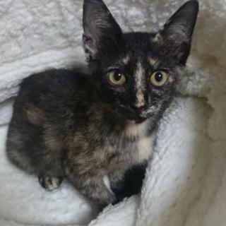 2~3ヶ月のマーブル猫♀