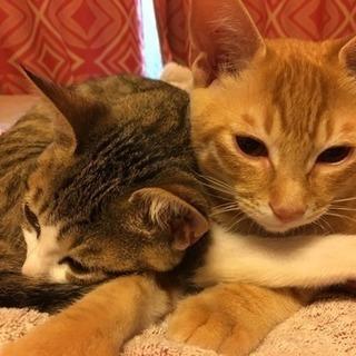 キジとトラの兄妹猫ちゃん(4ヶ月)