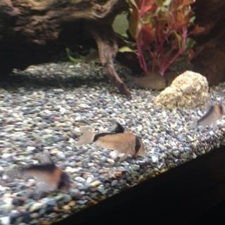 熱帯魚水槽生体 コリドラス