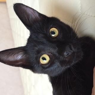 かわいい黒猫の男の子(3か月)