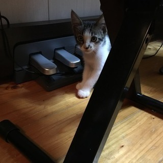 生後2ヶ月半のホクロが可愛いメス猫ちゃんです!