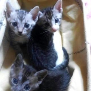 【募集中】グレーの子猫3匹 可愛がってくださる方に