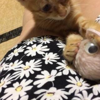 至急 生後1ヶ月半のメスの子猫です
