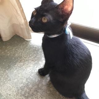 ジジみたいな子猫(生後2ヶ月)の里親募集