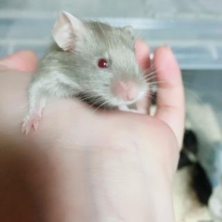 カラーマウス、1匹〜