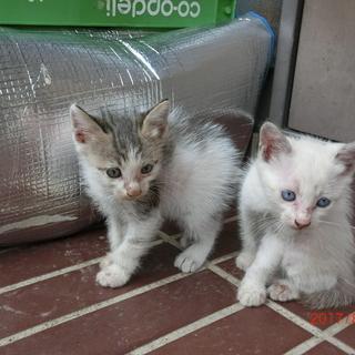 7月9日生まれ子猫2匹と母猫の里親を探しています
