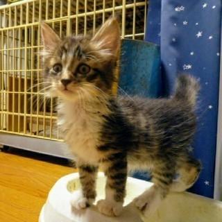 【募集終了】メス猫の子猫一匹 里親募集 - 熊谷市
