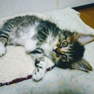 【募集終了】メス猫の子猫一匹 里親募集 - 猫