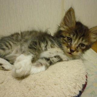 【募集終了】メス猫の子猫一匹 里親募集 - 里親募集