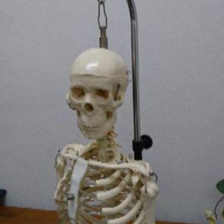 人体模型 高さ約85cm スタンド付
