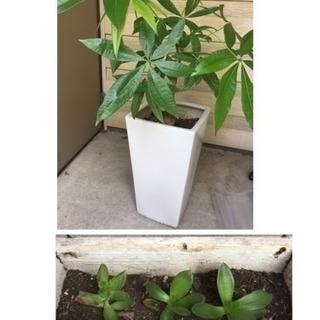 パキラ 多肉 植物 ガーデニング