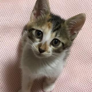 愛嬌たっぷり三毛猫2ヶ月女の子