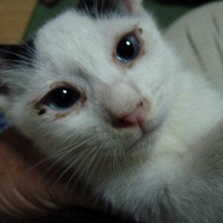 子猫もらってください。里親募集中
