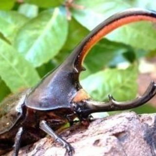 ヘラクレスオオカブト オキシデンタリス亜種 幼虫