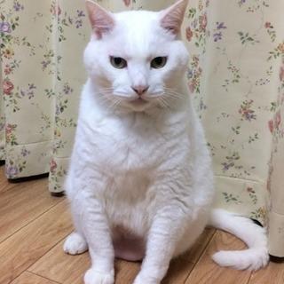 大きめの白猫
