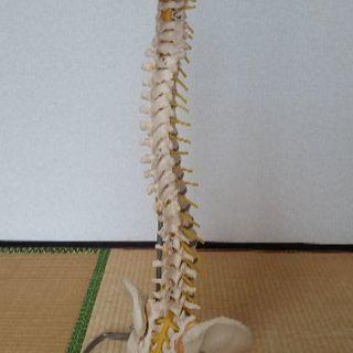 再値下げ!【訳あり格安】脊椎模型★骨格標本★スタンド付★ドイツ製ソ...