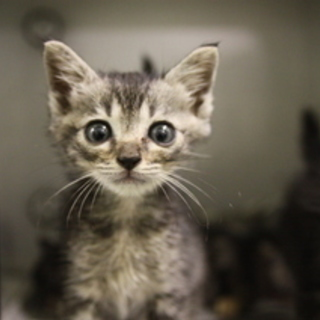 保険所に収容されています 猫メス  美猫ちゃん1ヶ月半位