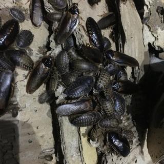 デュビア アロワナ フトアゴ 生き餌