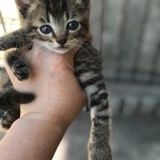 子猫里親募集 生後1ヶ月