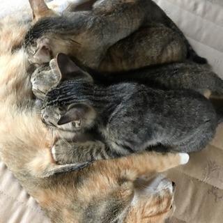 生後3ヵ月メス猫一匹里親募集中