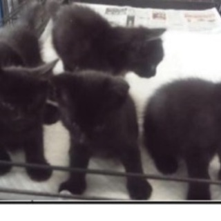 殺処分間近!生後1カ月位の黒子猫ちゃん5匹きょうだいが助けを待って...