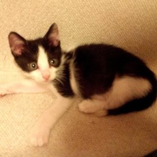 かわいい白黒子猫♂