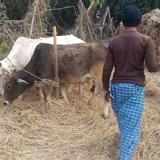 インド勉強会 第5回 テーマ「インド人と牛」