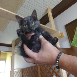 仔猫2か月 まるい尻尾の女の子