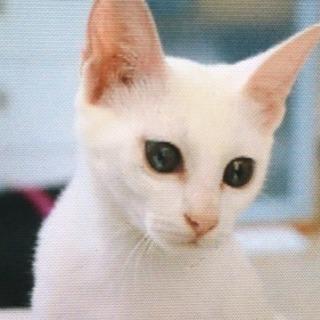 トライアルに入りました( ^∀^)   松戸市★不思議な瞳の白猫...