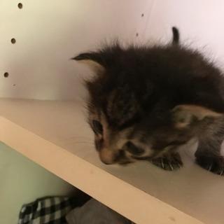 生後2カ月の子猫です