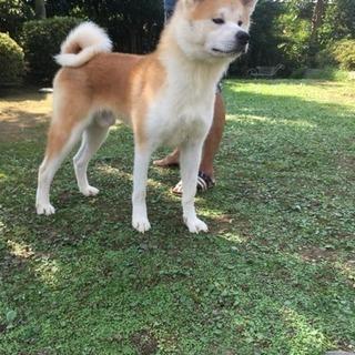 秋田犬の赤毛オス 3歳