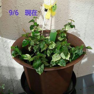 ハツユキカズラ(つる植物)