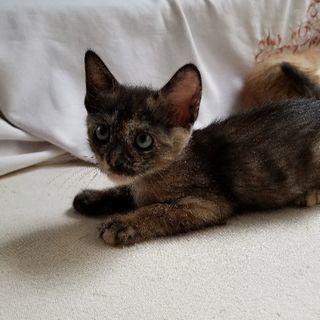 生後2ヶ月、飼い猫の仔猫(メス)をもらってください。