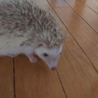 ピグミーヘッジホッグ(ハリネズミ)/毛色シニコット