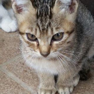 美猫です。寒くなってきたので暖かい家庭で仔猫を迎えてくれる方募集します。