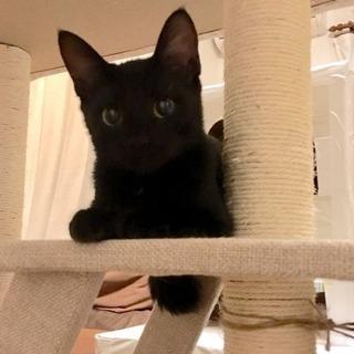 黒猫②  子猫  オス 里親募集です。