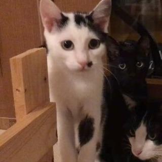 白黒猫  子猫  メス 里親募集です。