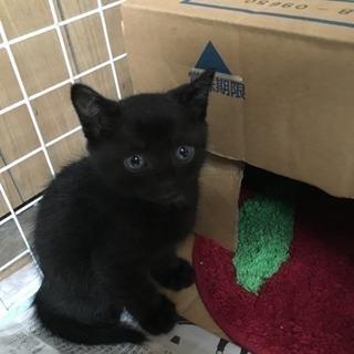 生後1ヶ月の黒猫の男の子