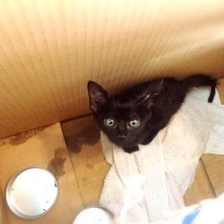 子猫(クロネコ)の里親募集 - 猫