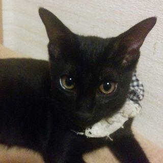 ゴロゴロ可愛い子猫クロちゃん3カ月