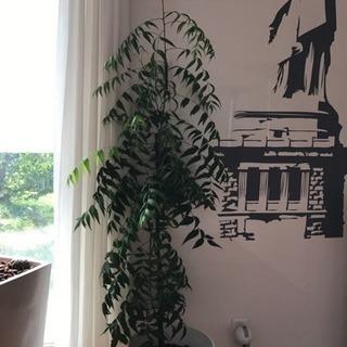 ニームの木 防虫効果☆観葉植物
