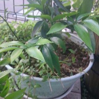 観葉植物 ナギ ご神木