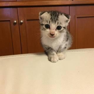 【スコティッシュ風の子猫】里親様を募集しています。