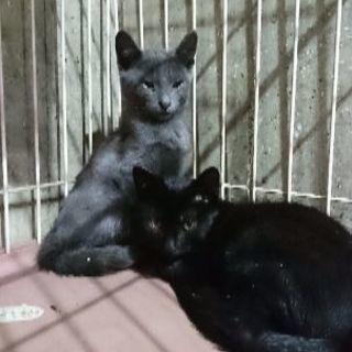 ロシアンブルーMixと黒猫の兄弟❤️生後2ヶ月半9月17日(日)の...