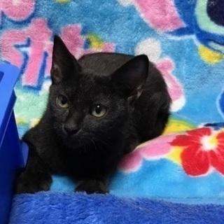 とても人懐こく頭のよい 黒猫 3ヶ月