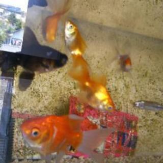 金魚 一匹~